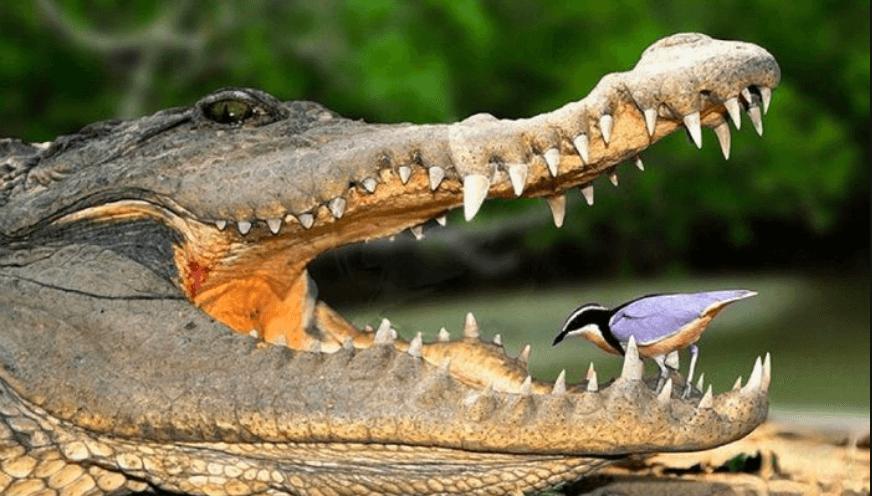 Palillo de dientes y cocodrilo