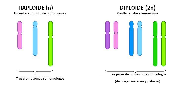 Células haploides y diploides