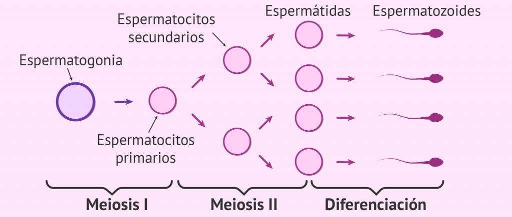 Fases de la espermatogénesis